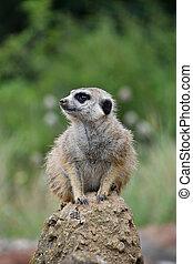 Close up portrait of meerkat looking away
