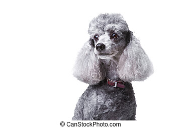 Close-up portrait of obedient small gray poodle with red leather collar on isolated white background