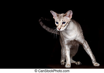 Portrait of Peterbald Sphynx Cat Curiosity Looks on Isolated...