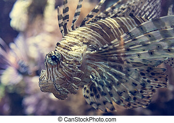 Close up portrait of poisonous lion fish from a side.