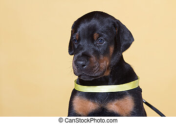 Close up Portrait of Puppy with yellow belt