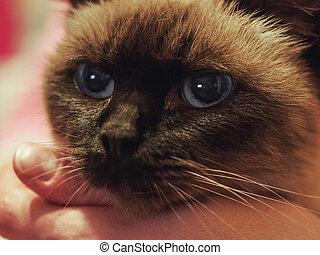 Close up portrait of siamese cat