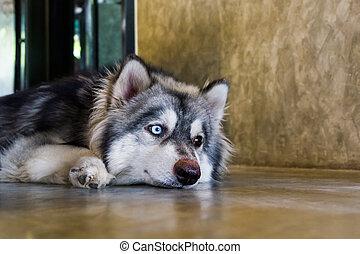 Close-up portrait of Siberian Husky dogs.