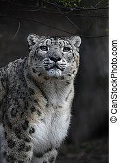 Close up portrait of snow leopard