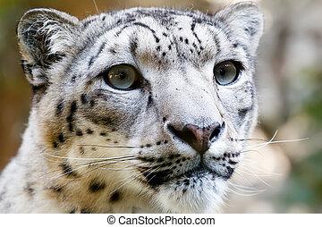 Close up Portrait of Snow Leopard Irbis