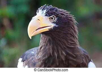 Stelller's sea eagle (Pelagicus haliaeetus) - Close-up...