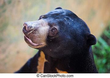 Close up portrait of Sun bear, Helarctos malayanus, the ...