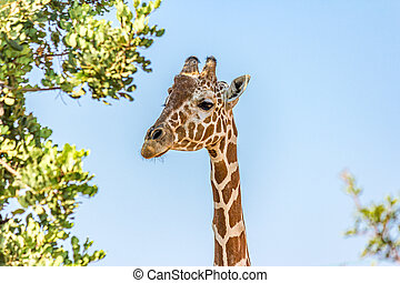 Close-up portrait of the Angolan (Namibian) giraffe. Giraffa angolensis lives in forest, savanna and shrubland in Africa (Namibia, Zambia, Botswana and Zimbabwe).