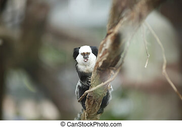White-headed Marmoset sitting in a tree - Close-up portrait...