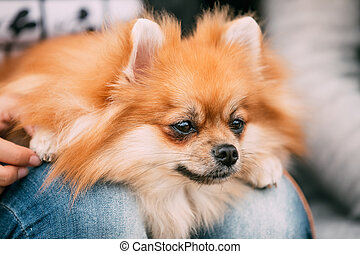 Close up portrait of young Red Pomeranian Spitz Small Dog