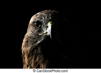Red-tailed Hawk - Close-up portrait on a Red-tailed Hawk on ...