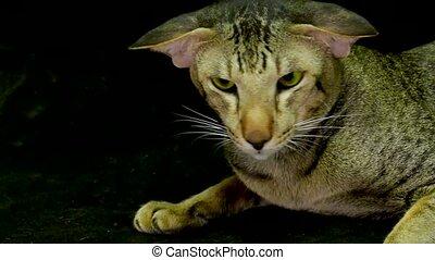 Close Up portraite: Cute siamese Cat - Close Up Cute siamese...