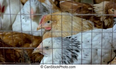 Close up poultry in cage in henhouse. Living in captivity....