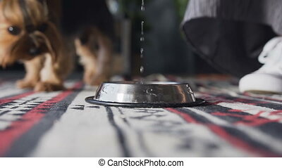 Close-up pours water into a brilliant dog bowl. Yorkshire terrier drinks water in the room.