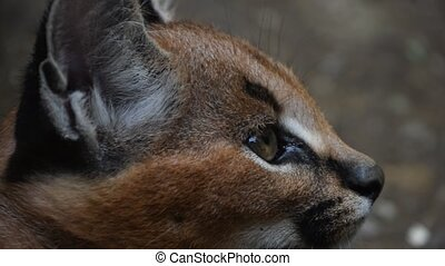 Close up profile portrait of baby caracal kitten - Extreme,...