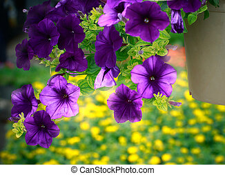 close up purple flower in hanging plantation decorated in garden