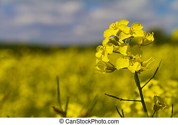 close up rapeseed
