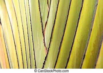 Close up - Ravenala madagascariensis Palm