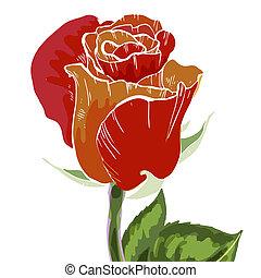 Close Up Red And Orange Rose Bud Isolated On White Background Botanical Illustration
