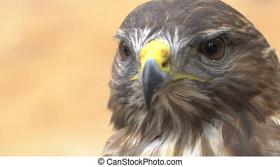 Close-up Red-tailed hawk. Bird of prey. Slow motion shot.