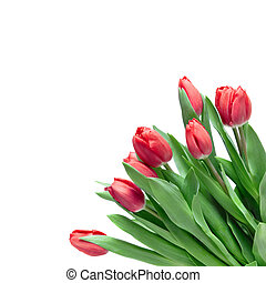 close-up red tulips isolated on white