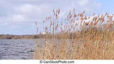 Close-up reeds in a lake moved by storm