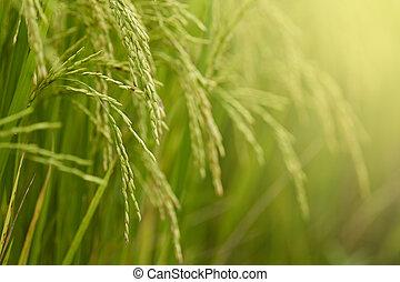 close-up, riceplant