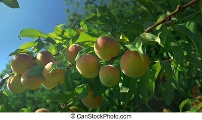close-up. ripe juicy peaches on a branch against the...