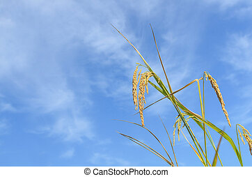 Close up ripe rice on blue sky background with copy space