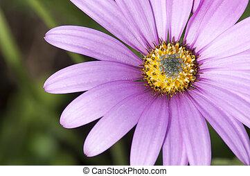 close-up, roze, purper viooltje, osteospermum