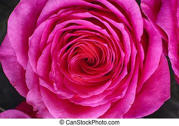 close-up, roze, rose.