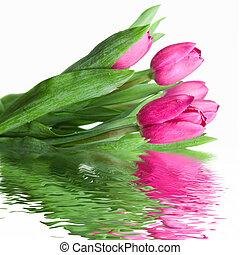 close-up, roze, tulpen, met, bewateer weerspiegeling, vrijstaand, op wit
