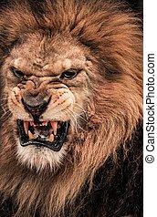 close-up, rugindo, tiro, leão
