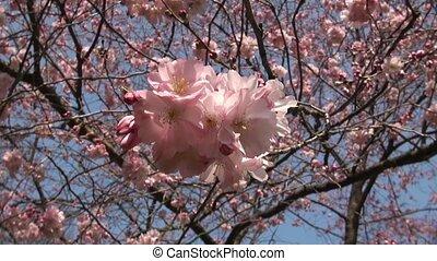 close-up, sakura