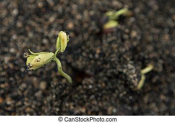 close-up, seedling, solo, verde, crescendo, saída