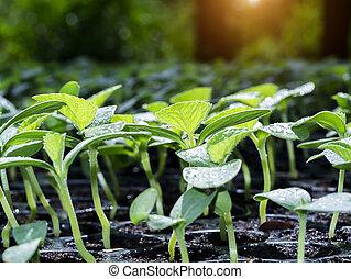 Close up Seedlings of Cantaloupe plant.