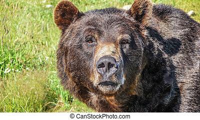 close-up, selva, canadense, pardo, urso, olhar fixamente, vista