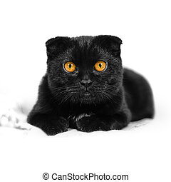 Close-up serious black Cat with Yellow Eyes in Dark. Face black Scottish fold cat with Golden eyes. Portrait of the cat. Cat looking at the camera lying on a sofa. Isolated on white background.
