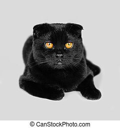 Close-up serious black Cat with Yellow Eyes in Dark. Face black Scottish fold cat with Golden eyes. Portrait of the cat. Cat looking at the camera lying on a sofa. Isolated on white background
