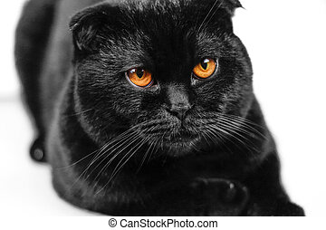 Close-up serious black Cat with Yellow Eyes in Dark. Face black Scottish fold cat with Golden eyes. Portrait of the cat