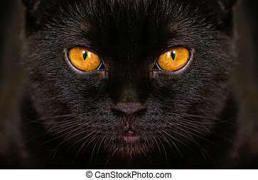 Close-up serious black Cat with Yellow Eyes in Dark. Face black Scottish fold cat with Golden eyes. Portrait of the cat.