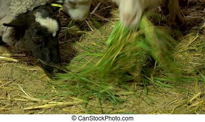 Close up sheeps eating green grass at farm.