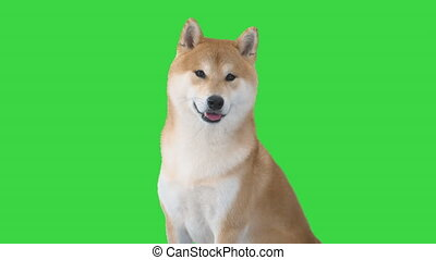 Close up. Shiba Inu sitting and looking around on a Green Screen, Chroma Key. Professional shot in 4K resolution. 049. You can use it e.g. in your medical, commercial video, business, presentation, broadcast