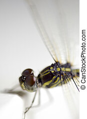 Close up shoot of a anisoptera dragonfly