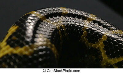 Close up shooting of anaconda's snakeskin - Footage of...