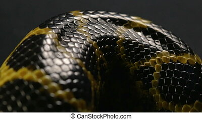 Close up shooting of snakeskin - Footage of yellow anaconda...
