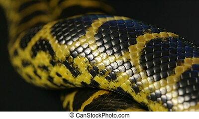 Close up shooting of yellow anaconda - Footage of yellow...