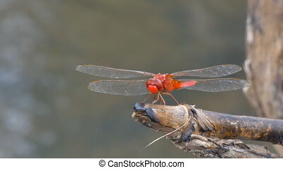 Close up shot dragonfly in nature place of tropical Asia