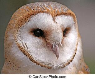 Barn Owl - Close up shot of a Barn Owl