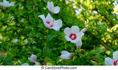 Close up shot of a blooming bush, plant with bright big...